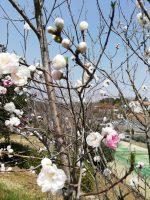桜まつり④