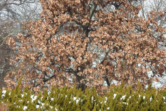 枯れた柏の葉っぱ大