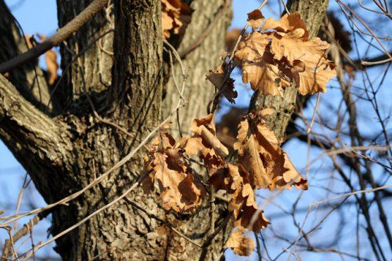 柏の葉っぱ部分